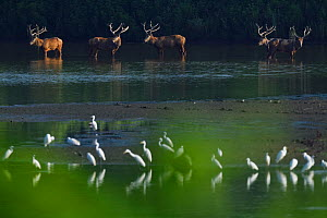 Pere David's deer / Milu (Elaphurus davidianus), with Great white egrets (Ardea alba), Cattle egrets (Bubulcus ibis), Little egrets (Egretta garzetta) and Intermediate egrets (Ardea intermedia), H...  -  Staffan Widstrand / Wild Wonders of China