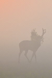 Pere David's deer / Milu (Elaphurus davidianus), stag silhouetted walking in grass on a misty morning, Hubei Tian'ezhou Milu National Nature Reserve, Shishou, Hubei, China.  -  Staffan Widstrand / Wild Wonders of China