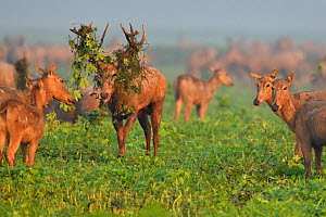 Pere David's deer / Milu (Elaphurus davidianus) during the rutting season,stag with vegetation in antlers, standing in grass with harem, Hubei Tian'ezhou Milu National Nature Reserve, Hubei, C...  -  Staffan Widstrand / Wild Wonders of China