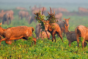 Pere David's deer / Milu (Elaphurus davidianus) during the rutting season,stag with vegetation in antlers, leaping through grass, with harem, Hubei Tian'ezhou Milu National Nature Reserve, Hub...  -  Staffan Widstrand / Wild Wonders of China