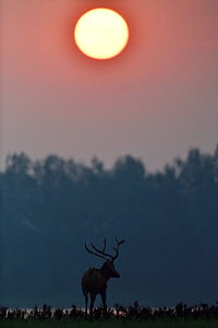 Pere David's deer / Milu (Elaphurus davidianus) stag at sunrise, Hubei Tian'ezhou Milu National Nature Reserve, Hubei, China  -  Staffan Widstrand / Wild Wonders of China