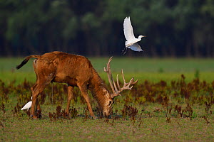 Pere David's deer / Milu (Elaphurus davidianus) with Cattle egret (Bubulcus ibis) Hubei Tian'ezhou Milu National Nature Reserve, Hubei, China  -  Staffan Widstrand / Wild Wonders of China