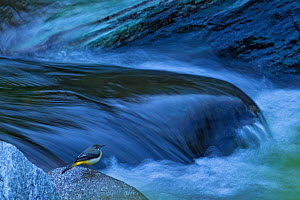 Grey wagtail (Motacilla cinerea) sitting by a river, Tangjiahe National Nature Reserve,Qingchuan County, Sichuan province, China  -  Jed Weingarten / Wild Wonders of China