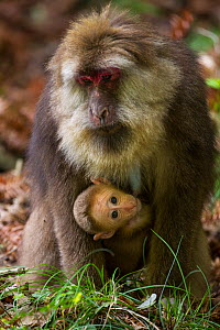 Tibetan macaque (Macaca thibetana) carrying young baby, Tangjiahe Nature Reserve, Sichuan Province, China - Jed Weingarten / Wild Wonders of China
