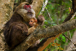 Tibetan macaque (Macaca thibetana) female with infant, Tangjiahe Nature Reserve, Sichuan Province, China, April. - Jed Weingarten / Wild Wonders of China