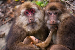 Tibetan macaques (Macaca thibetana) with baby, Tangjiahe Nature Reserve, Sichuan Province, China, - Jed Weingarten / Wild Wonders of China