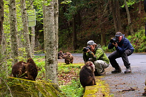 Photographer Staffan Widstrand and Magnus Lundgren, founders of Wild Wonders of China, taking photos of Tibetan macaque (Macaca thibetana) Tangjiahe Nature Reserve, Sichuan Province, China, April 2015... - Jed Weingarten / Wild Wonders of China