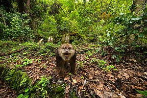 Tibetan macaque (Macaca thibetana) approaching camera with bared teeth, Tangjiahe Nature Reserve, Sichuan Province, China - Jed Weingarten / Wild Wonders of China