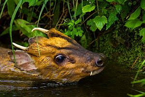 Injured Muntjac (Muntiacus reevesi) swimming in a small creek after unsuccessfully attempting to jump across it. This muntjac was unable to get out of the creek himself, and was later rescued by the p...  -  Jed Weingarten / Wild Wonders of China