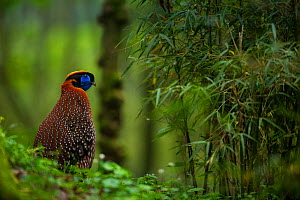 Temminck's tragopan (Tragopan temminckii) Tangjiahe Nature Reserve, Sichuan province, China. - Jed Weingarten / Wild Wonders of China