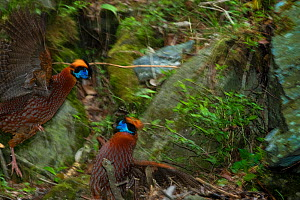 Temminck's tragopans (Tragopan temminckii) fighting, Tangjiahe Nature Reserve, Sichuan province, China.  -  Jed Weingarten / Wild Wonders of China