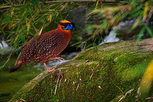 Temminck's tragopan (Tragopan temminckii) with waterfall, Tangjiahe Nature Reserve, Sichuan province, China. - Jed Weingarten / Wild Wonders of China