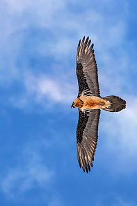 Bearded vulture (Gypaetus barbatus) flying against blue sky, Serxu County, Garze Prefecture, Sichuan Province, China.  -  Jed Weingarten / Wild Wonders of China