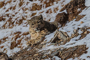 Snow leopard (Uncia uncia) with Bharal (Pseudois nayaur) prey, Serxu County, Garze Prefecture, Sichuan Province, China.  -  Jed Weingarten / Wild Wonders of China