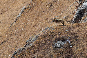 Tibetan wolf (Canis lupus chanco) in mountain landscape, Serxu County, Garze Prefecture, Sichuan Province, China.  -  Jed Weingarten / Wild Wonders of China
