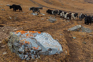 Buddhist mani stone with lichen and domestic yaks in landscape, Serxu County, Garze Prefecture, Sichuan Province, China. - Jed Weingarten / Wild Wonders of China