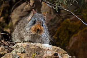 Large-eared pika (Ochotona macrotis) Serxu County, Garze Prefecture, Sichuan Province, China.  -  Jed Weingarten / Wild Wonders of China
