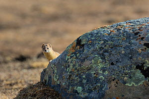 Mountain weasel (Mustela altaica) looking out from behind a stone, Serxu County, Garze Prefecture, Sichuan Province, China.  -  Jed Weingarten / Wild Wonders of China