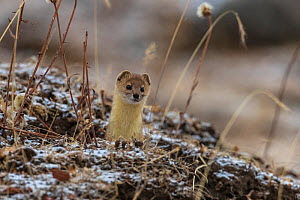 Mountain weasel (Mustela altaica) looking out from a hole in the ground, Serxu County, Garze Prefecture, Sichuan Province, China.  -  Jed Weingarten / Wild Wonders of China