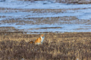 Red fox (Vulpes vulpes) sitting on the ground, Tibetan Plateau, Sichuan Province, China, - Jed Weingarten / Wild Wonders of China