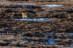 Tibetan fox (Vulpes ferrilata) lying on ground in the distance, Tibetan Plateau, Sichuan Province, China, - Jed Weingarten / Wild Wonders of China
