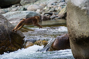 Tibetan macaque (Macaca thibetana) jumping across a branch of the river, Tangjiahe Nature Reserve, Sichuan Province, China, April. - Jed Weingarten / Wild Wonders of China