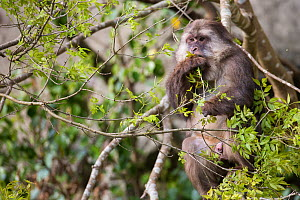 Tibetan macaque (Macaca thibetana) sitting in a tree eating leaves, Tangjiahe Nature Reserve, Sichuan Province, Qingchuan county, China, April. - Jed Weingarten / Wild Wonders of China