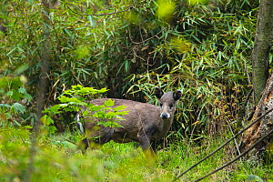 Tufted deer (Elaphodus cephalophus), standing near bamboo thicket, ready to dart back inside if threatened. Tangjiahe Nature Reserve, Sichuan province, China. - Jed Weingarten / Wild Wonders of China