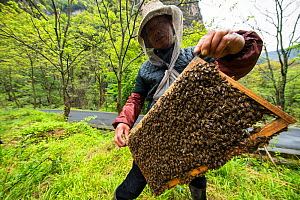 Bee keeper holds up his bees while making his daily check on them in Tangjiahe Nature Reserve, Qingchuan County, Sichuan Province, China. April. - Jed Weingarten / Wild Wonders of China