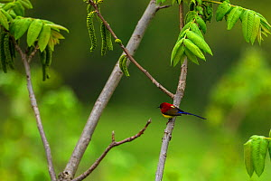Mrs Gould's sunbird (Aethopyga gouldiae) perched on branch, Tangjiahe Nature Reserve, Sichuan Province, China.  -  Jed Weingarten / Wild Wonders of China