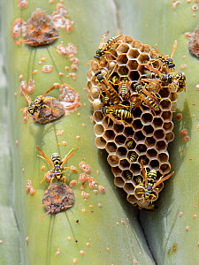 European paper wasp (Polistes dominula) colony at their nest on a large cactus, Mallorca, Spain, August.  -  Nick Upton