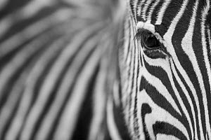 Zebra (Equus quagga) portrait, Serengeti National Park, Tanzania  -  Guy Edwardes