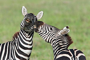 Pair of Zebra (Equus quagga) fighting in Serengeti National Park, Tanzania  -  Guy Edwardes