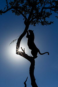 Leopard (Panthera pardus) climbing tree, silhouetted against the sun, Kruger National Park, South Africa. - Guy Edwardes