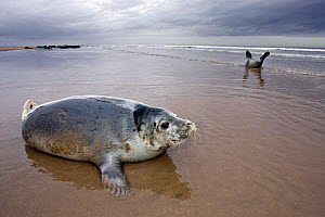 Grey Seal (Halichoerus grypus) pup on beach at Donna Nook, Lincolnshire, England, UK, January. - Guy Edwardes