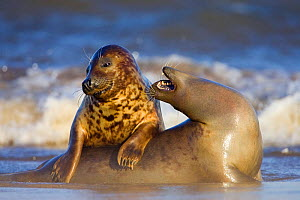 Grey seals (Halichoerus grypus) females playing on beach at Donna Nook, Lincolnshire, England, UK, January - Guy Edwardes