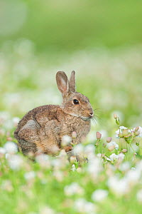 Rabbit (Oryctolagus cuniculus) amongst Sea Campion (Silene uniflora), UK  -  Guy Edwardes