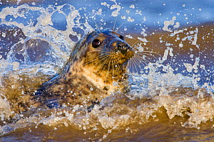 Grey Seal (Halichoerus grypus) playing in waves at Donna Nook, Lincolnshire, England, UK, January.  -  Guy Edwardes