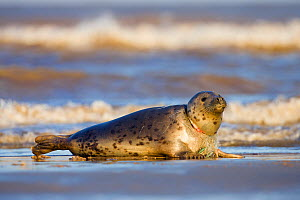 Grey Seal (Halichoerus grypus) with fishing line caught tight around its neck at Donna Nook, Lincolnshire, England, UK, January.  -  Guy Edwardes
