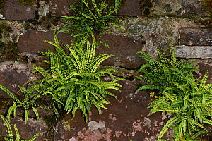 Maidenhair spleenwort (Asplenium trichomanes) growing on an Old Red Sandstone wall, Brecon Beacons National Park, Breconshire, Wales, UK. October 2018. - Will Watson