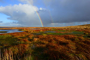 Pwl Gwy-rhoc and associated blanket bog with reddish tinged leaves of Cotton-grass and a carpet of Sphagnum, Mynd Llangatwg, with a rainbow in the background, Brecon Beacons National Park, Breconshire... - Will Watson
