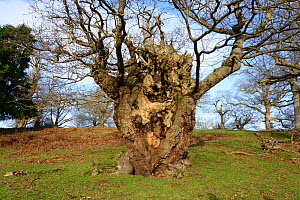 The Stag's-horn Oak or Hypebaeus Tree at Moccas Park National Nature Reserve, estimated to be over 600 years old and the habitat of the rare Moccas Beetle (Hypebaeus flavipes) Herfordshire, Englan... - Will Watson