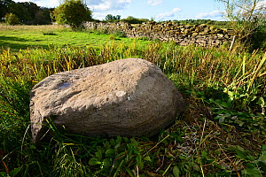 Erratic boulder deposited beside Llansgorse Lake during the last Ice-Age, an Intraformational conglomerate from the Old Red Sandstone Succession, Devonian Period, and drystone wall, Brecon Beacons Nat... - Will Watson