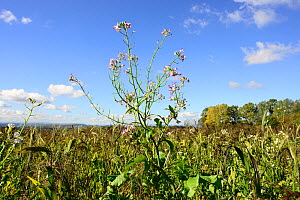 Fodder radish (Raphanus sativa var. oleiformis), growing in field of game cover crop, Herefordshire Plateau, England, UK. September. - Will Watson