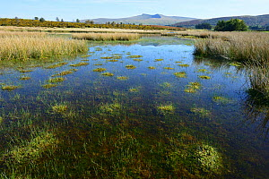 Dystrophic pond on Myndd Illtud Common SSSI, showing cushions of Sphagnum Moss, with Pen y Fan, the highest mountain in the Brecon Beacons National Park in the background, Breconshire, Wales, Spetmebe... - Will Watson