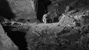 Male Badger (Meles meles) foraging at night near its sett entrance, Somerset, England, UK, May. Filmed using a remote camera and infra red light. - Nick Upton