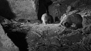 Two Badgers (Meles meles) foraging near their sett entrance at night, Somerset, England, UK, May. Filmed using a remote camera and infra red light. - Nick Upton