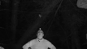 Member of Wiltshire Bat Group extracting a small Bat (Myotis) from a mist net set in woodland, Box Mine, Wiltshire, England, UK, September. Model released.  -  Nick Upton