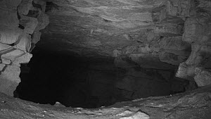 Group of Bats (Myotis) circling in Box Mine during the autumn swarming period, Wiltshire, England, UK, September. Recorded during a licensed survey with Wiltshire bat Group.  -  Nick Upton