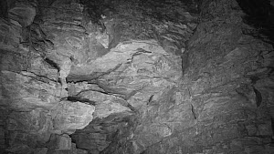 Several bats (Myotis) circling around an old quarry face and the entrance to Box Mine during autumn swarming period, Wiltshire, England, UK, September. Recorded during a licensed survey with Wiltshire... - Nick Upton